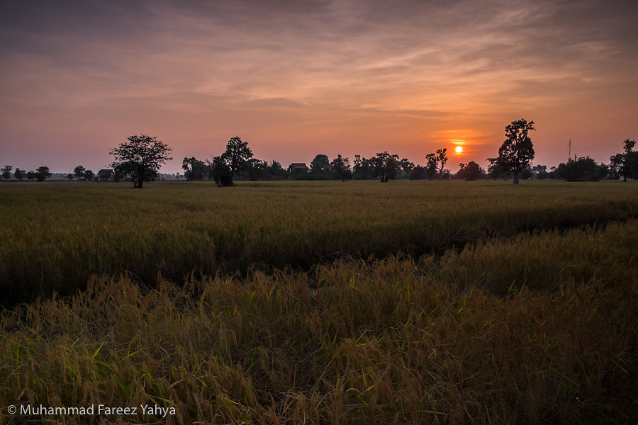 Sunset at a rice field